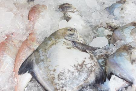 fish tank: Fresh freeze pompano fish in ice tank at seafood market.