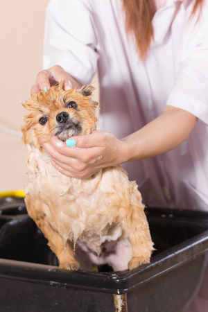 Bath time with white pomeranian shower grooming, dog healthy concept. Stock Photo