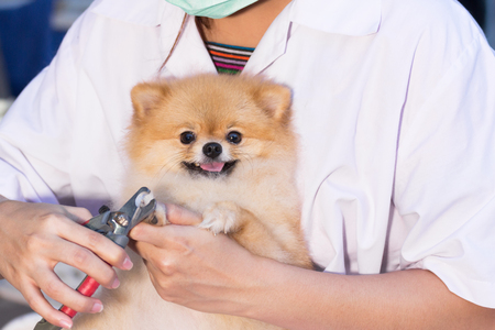 cleaned: Pomeranian after shower with cut nail grooming at pet shop, dog healthy concept. Stock Photo