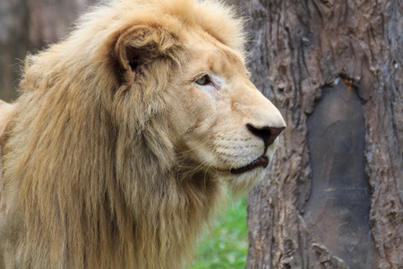 Close Up Young head lion is skinny in the nature. Stock Photo