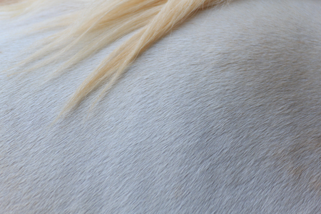 Close up white skin and blond hair horse texture, horizental pattern background.