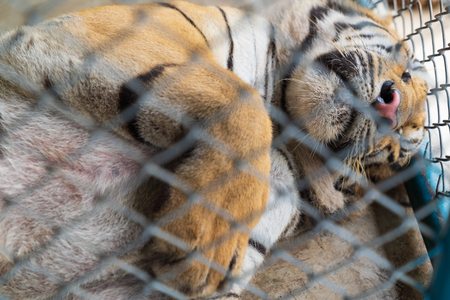A big tiger sleeping in cage background. Stock Photo