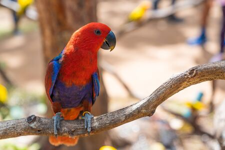 Red Parrot, bird sitting on the pal tree trunk. Wildlife scene bird tropical forest concept. Beautiful red parrot on dry tree in the farm background.