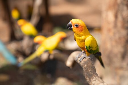 Yellow Parrot, bird sitting on the pal tree trunk. Wildlife scene bird tropical forest concept. Beautiful yellow parrot on dry tree in the farm background.