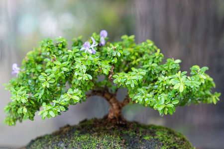 Close up. Beautiful bonsai tree, including care, bonsai will be successfully through the process of caring for so mamy countless times.