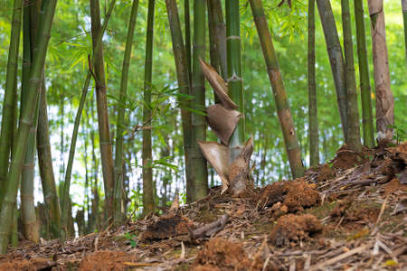 Asia bamboo branch in bamboo forest, beautiful green nature background. 版權商用圖片