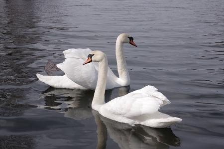 two white swans photo
