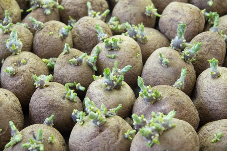 seedling growing: potatoe sprouts
