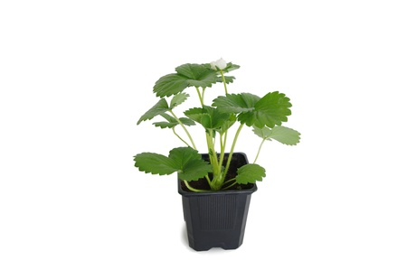strawberry plant Stock Photo