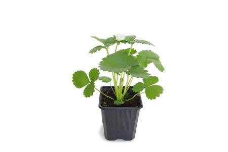 strawberry plant Stock Photo