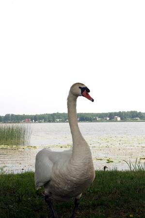 White swan on the edge of lake