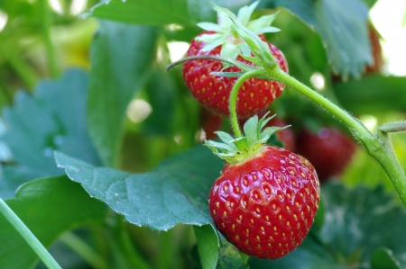 ripe strawberry fruits on the branch Stock Photo