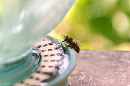 bee drinking water Stock Photo