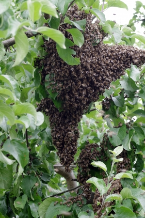 honey bee swarn in apple tree Stock Photo