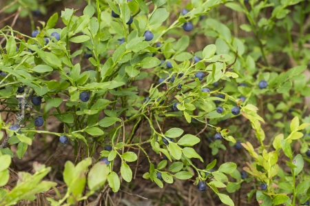 fresh blueberries bush in the woods, organic healthy fruits