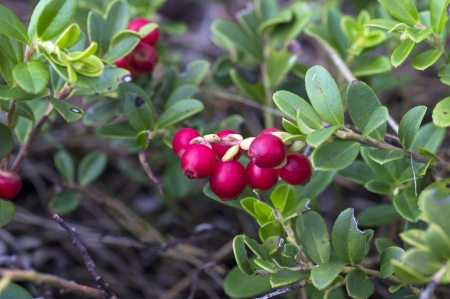 Bush of ripe forest cranberries close-up Stock Photo