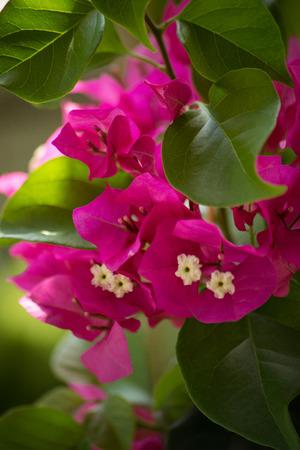 magenta: Bougainvillea pink magenta macro closeup