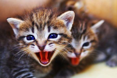 Small mewing kitten