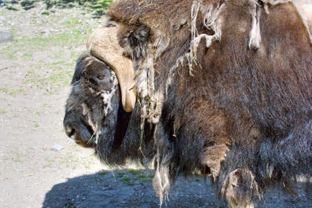 The bison during a moult photo