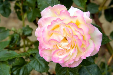 Live pink rose in dewdrops photo
