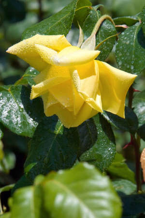 Live yellow rose in dewdrops photo