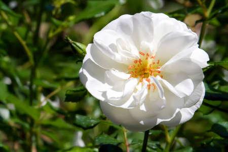 Live white rose on a bush photo