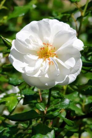 Live white rose on a bush photo