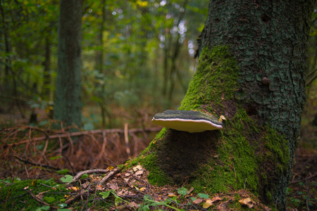 grew: forest mushroom in the crown of the tree overgrown with moss