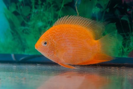 cichlid: aquarium fish Cichlasoma severum in the background of aquatic plants.
