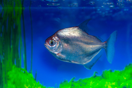 Metynnis silver, herbivorous piranha, fish-dollar (Metynnis argenteus). Stock Photo