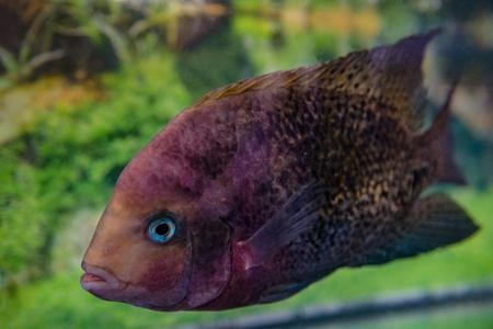 freshwater aquarium fish: beautiful aquarium fish Astronotusa