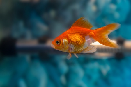 carassius auratus: Gold Fish Isolated on blue Background