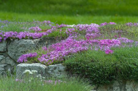 Purple phlox flowers in landscape design