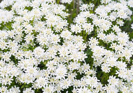 yarrow: Achollea alpina Yarrow, Yarrow White in bloom.