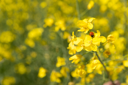 bogus: Bogus on the rapeseed field on a sunny day in June 2017