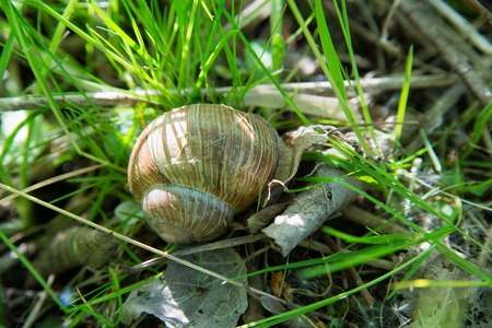 inhabits: Grape snail close-up Helix pomatia in green grass. Stock Photo