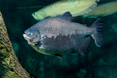 pygocentrus: Piranha, Serrasalmus bat Natterer, fish-eating meat in the aquarium Stock Photo