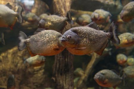 Piranha, Serrasalmus bat Natterer, fish-eating meat in the aquarium Stock Photo