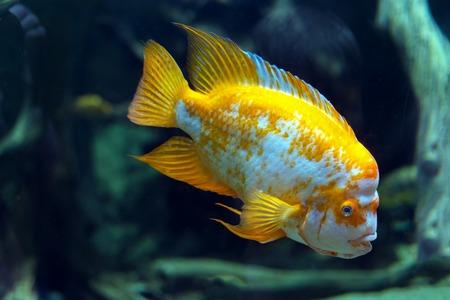 aquarium hobby: Beautiful tropical fish Cichlasoma citrinellum in the aquarium. Stock Photo