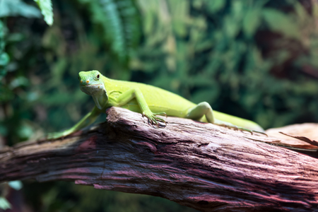 Green lizard iguana on a tree in a forest close-up. Stock Photo