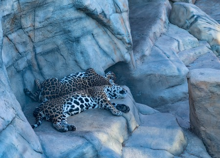 two leopards sleeping in the zoo in the hot afternoon Banco de Imagens