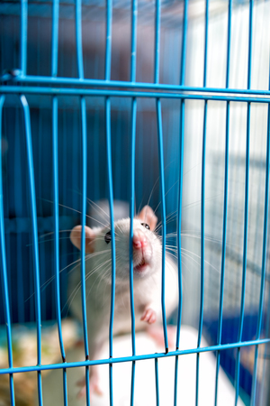 white rat is held by the legs in the cage.