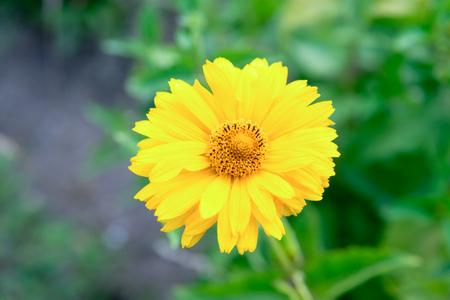 Yellow flower rudbeckia in the summer garden. Stock Photo