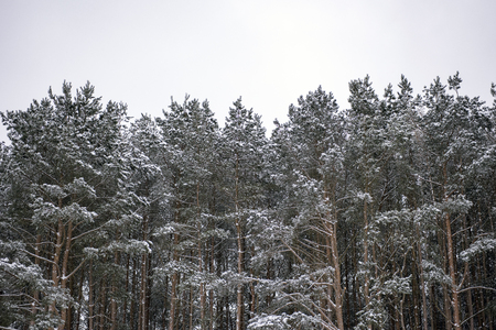 first snow fell in the pine forest.