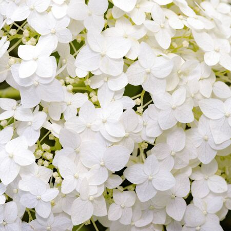 white hydrangea blooming in the summer garden Stock Photo