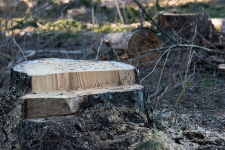 Stump of a freshly cut tree in the forest. environmental problem. destruction of nature.