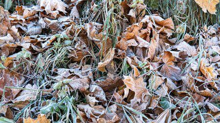 Frozen Leaves background. first frost in the city Park.