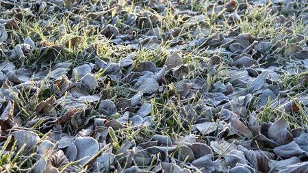 Frozen Leaves background. first frost in the city Park