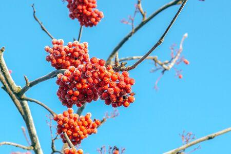 Czerwone mrożone jagody jarzębiny na tle błękitnego nieba