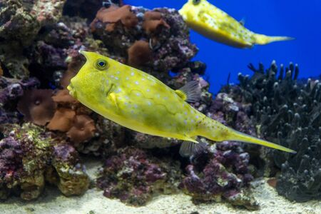Longhorn cowfish. yellow fish on coral background